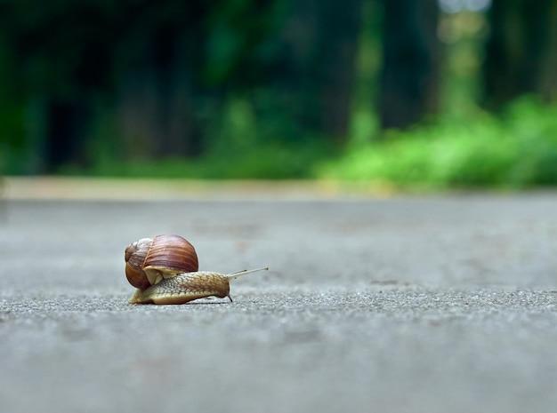 Rastejamento lento de caracol uva no asfalto do parque Foto Premium