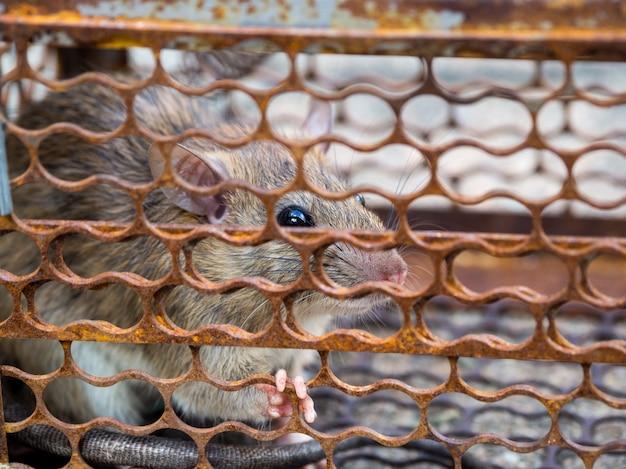 Rat está preso em uma armadilha ou armadilha. o rato sujo tem contágio a doença para os seres humanos Foto Premium