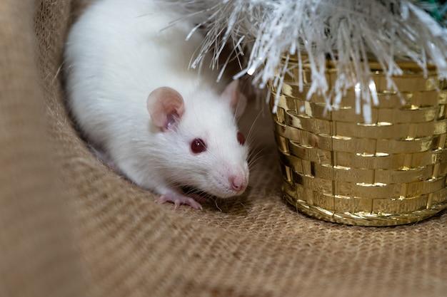 Rato branco com decoração de natal Foto Premium