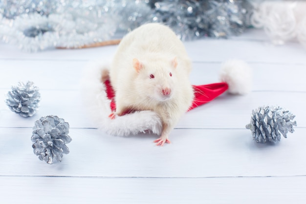 Rato branco parece fora de um chapéu de natal Foto Premium