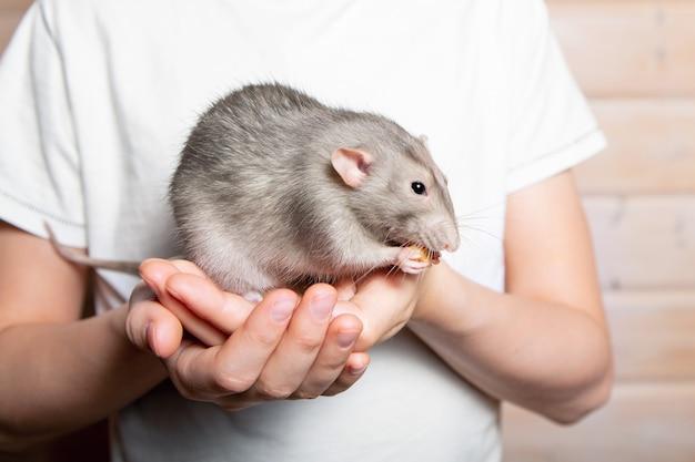 Rato de mão cinza dumbo nas mãos de uma criança. animal de estimação, close-up. ano do rato 2020. Foto Premium