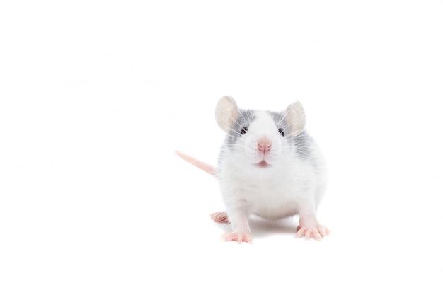 Rato em fundo branco Foto Premium