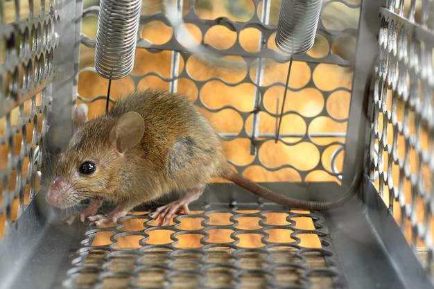 Ratos presos em uma armadilha. dentro de armadilhas para ratos. Foto Premium