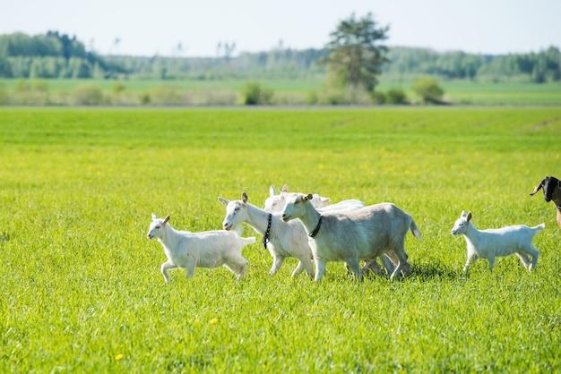 Rebanho de cabras brancas em um prado verdejante no verão Foto Premium