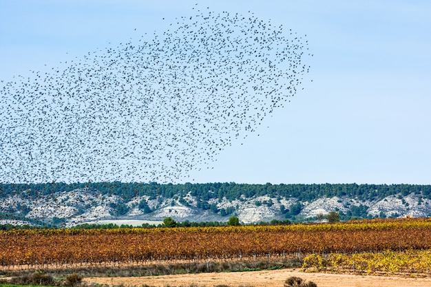 Rebanho de estorninhos migrando, céu e terra Foto Premium