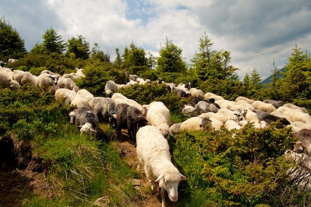 Rebanho de ovelhas brancas Foto Premium