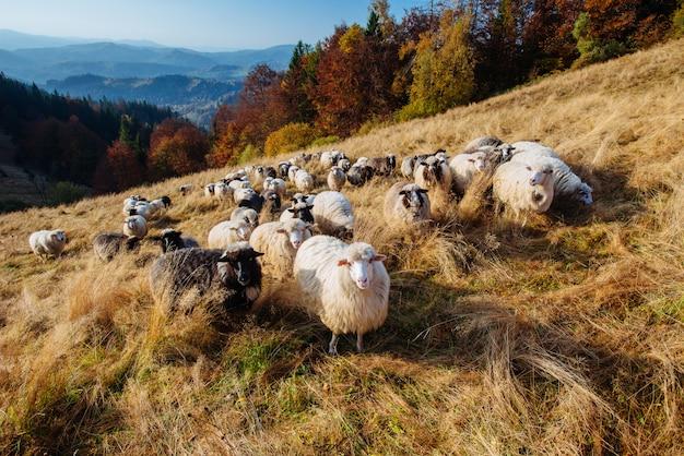 Rebanho de ovelhas Foto Premium