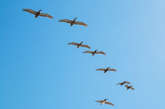 Rebanho de pelicanos voando sobre o céu azul Foto Premium