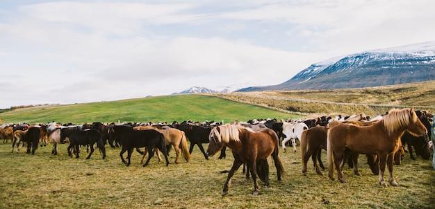 Rebanho de preciosos cavalos islandeses reunidos em uma fazenda. Foto Premium