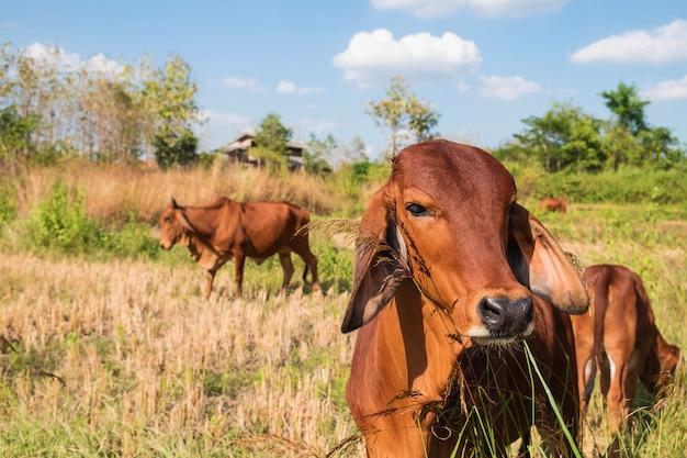Rebanhos de vacas e bezerros pastam no meio de um campo Foto Premium