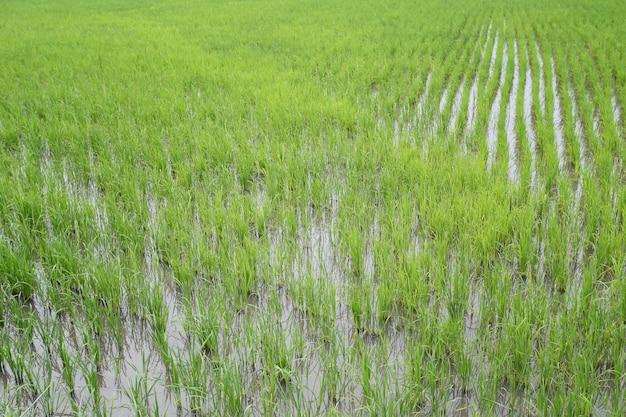 Rebento de arroz nos campos. Foto Premium