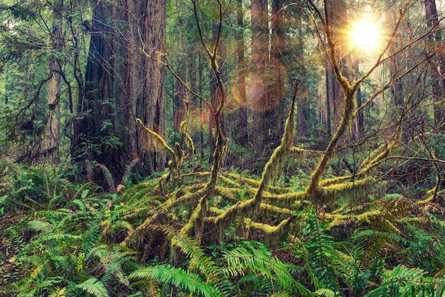 Redwood rainforest Foto gratuita