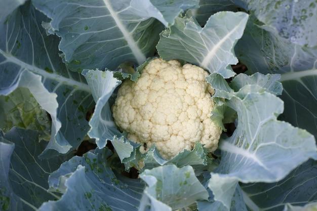 Repolho fresco de horta, legumes que proporcionam alto valor nutritivo. Foto Premium