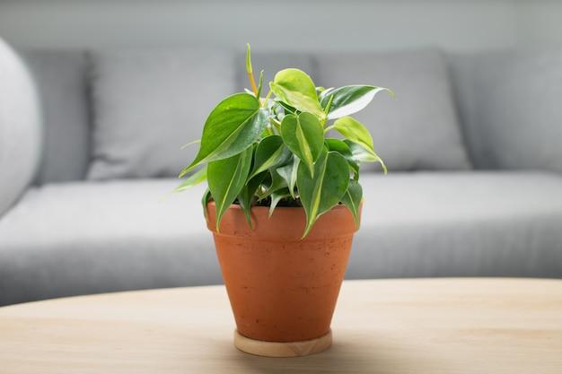 Respingo de creme de filodendro em panela de barro na mesa de madeira na sala de estar. plantas de purificação de ar para interiores. Foto Premium