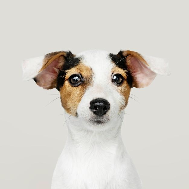 Retrato adorável do filhote de cachorro de jack russell retriever Foto gratuita
