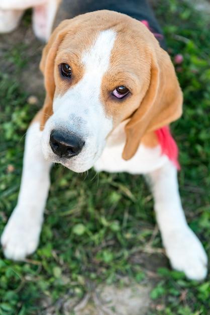 Retrato bonito de beagle Foto gratuita