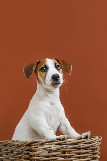 Retrato bonito do cachorrinho de jack russell terrier. Foto Premium