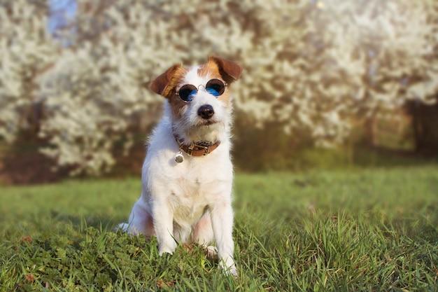 Retrato bonito jack russell cão vestindo vidros de verão Foto Premium