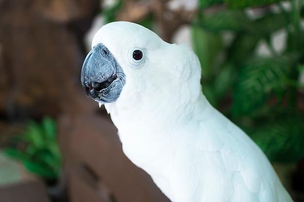 Retrato da cacatua branca bonita do papagaio, pássaro bonito, fim acima da foto. Foto Premium