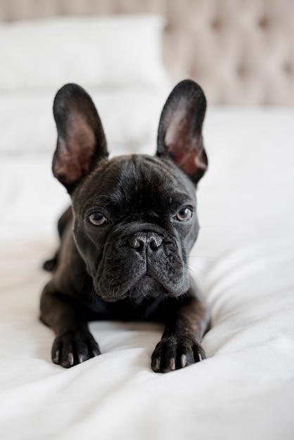 Retrato de adorável pequeno bulldog francês Foto gratuita