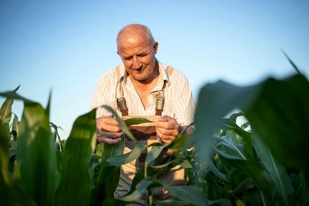 Retrato de agricultor agrônomo sênior trabalhador em um campo de milho, verificando as colheitas antes da colheita Foto gratuita