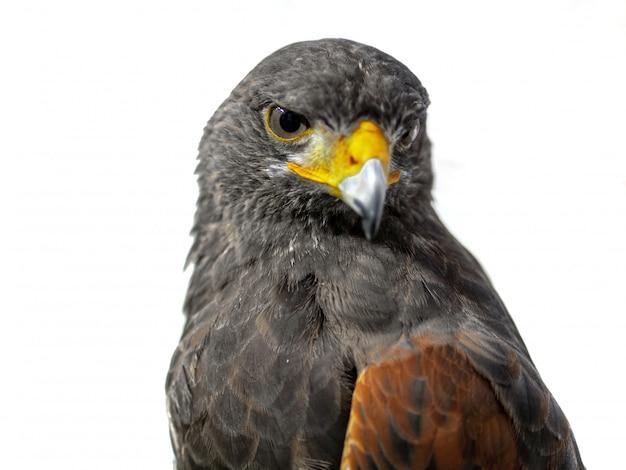 Retrato de águia dourada em fundo branco Foto Premium