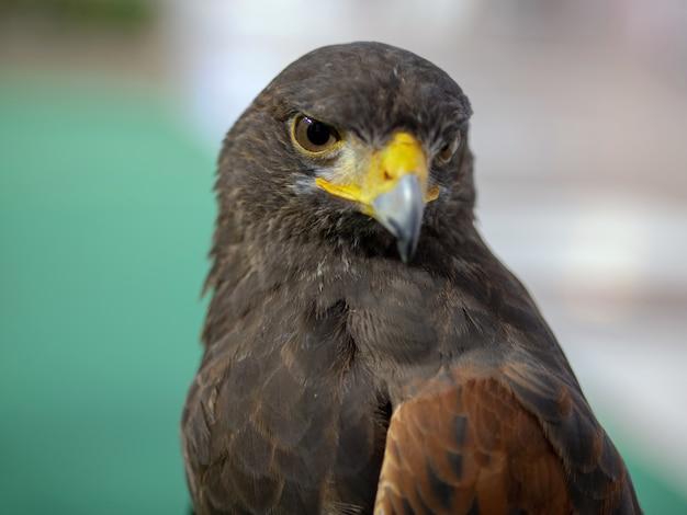 Retrato de águia dourada Foto Premium
