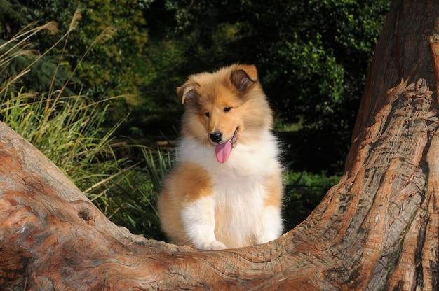 Retrato, de, áspero, collie, cão Foto Premium