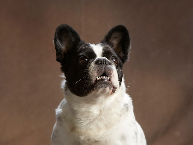 Retrato de buldogue francês Foto Premium