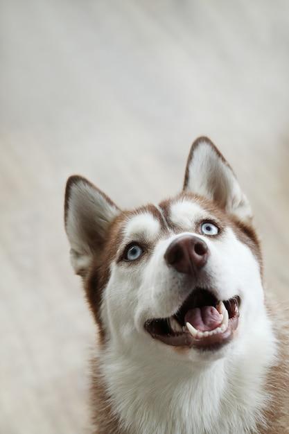 Retrato de cachorro husky Foto gratuita