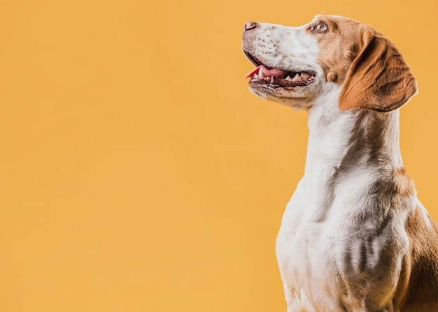 Retrato de cachorro sorridente, olhando para longe Foto gratuita