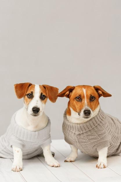 Retrato de cães bonitos em blusas de malha, foto de estúdio de cachorro jack russell e sua mãe. Foto Premium