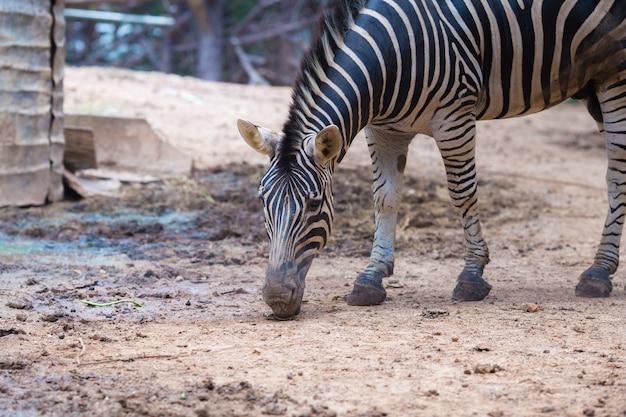 Retrato de close-up da zebra Foto Premium