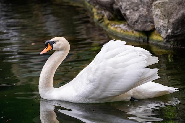 Retrato de close-up de um cisne branco na água Foto Premium
