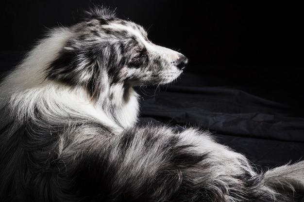 Retrato, de, cute, border collie, cão Foto gratuita