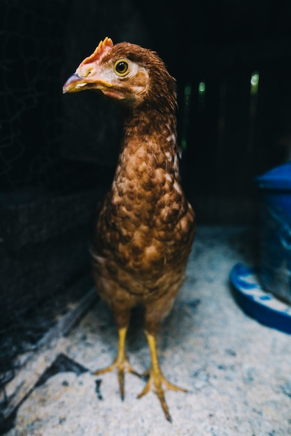Retrato, de, galinha, em, a, coop Foto gratuita