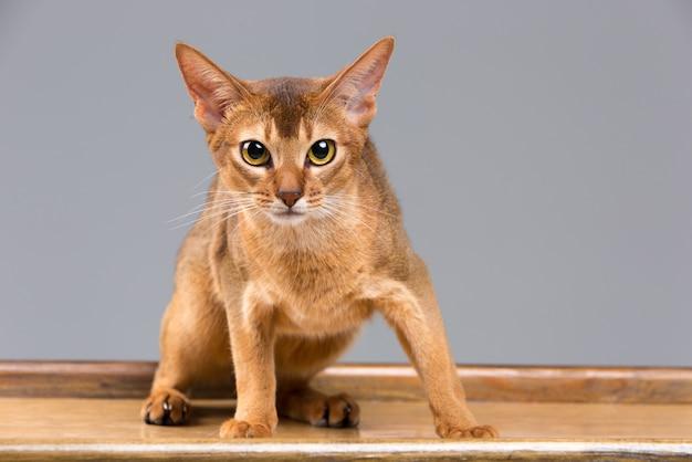 Retrato de gato jovem abissínio puro-sangue Foto gratuita