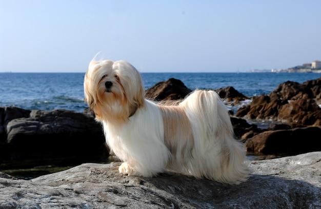 Retrato, de, lhasa apso, cão Foto Premium