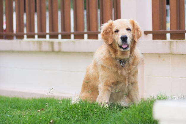 Retrato de retriver cachorro fofo dourado no gramado Foto Premium