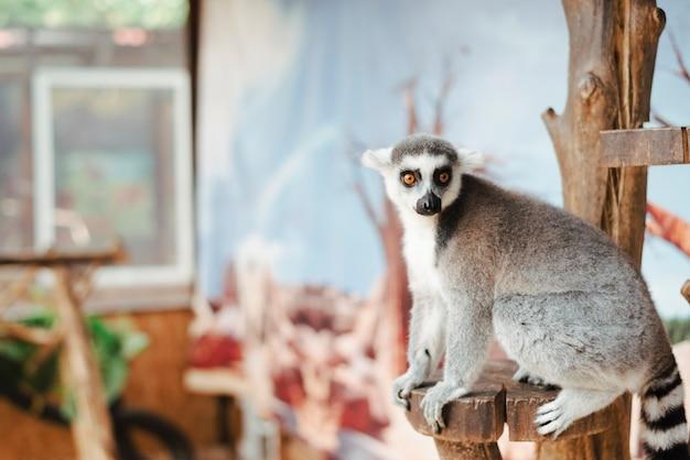 Retrato, de, ring-tailed, lemur, ligado, madeira, poste Foto gratuita