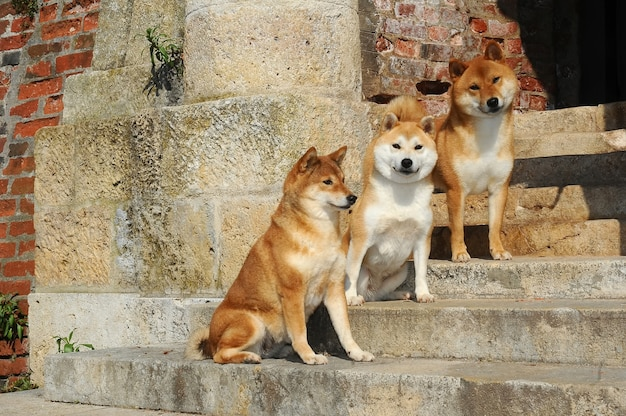 Retrato de três cães shiba Foto Premium