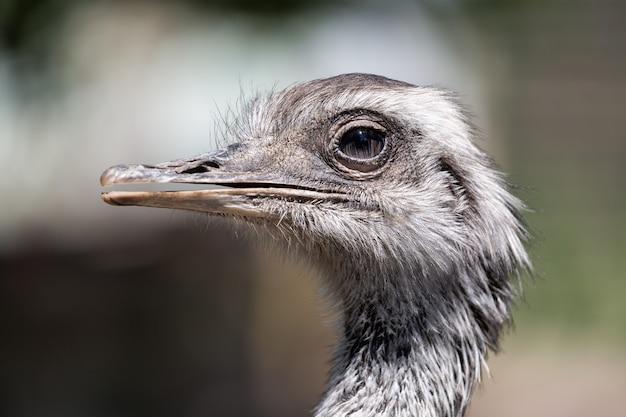 Retrato de um avestruz africano close-up Foto Premium