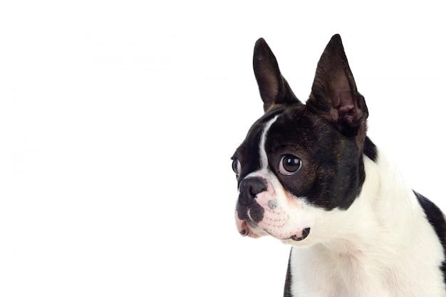 Retrato de um bonito boston terrier Foto Premium