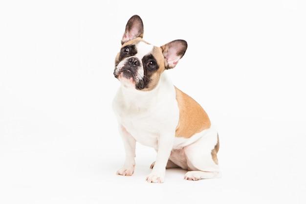 Retrato de um buldogue francês em um branco. cachorrinho alegre com uma cara engraçada sentado Foto Premium
