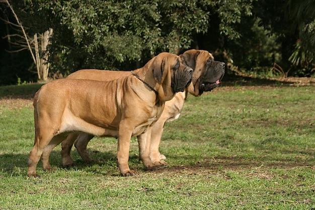 Retrato, de, um, cachorro mastiff Foto Premium