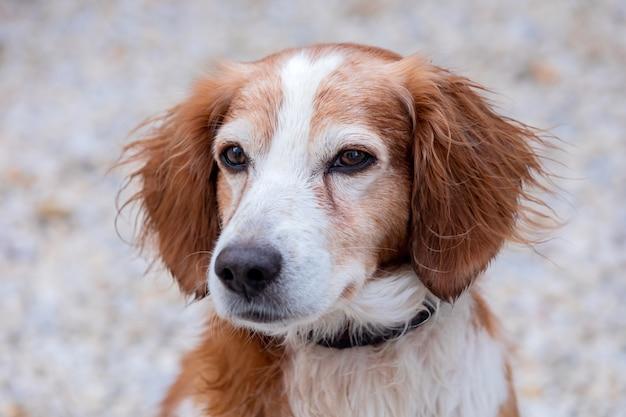 Retrato de um cão branco e marrom fora Foto Premium