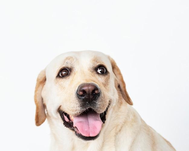 Retrato de um cão labrador retriever Foto gratuita