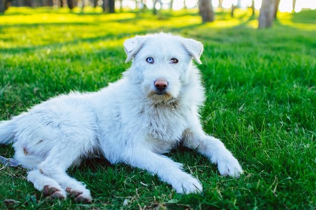 Retrato de um cão vadio fofo branco com um chip na orelha e com heterocromia. persiga o descanso e o encontro na grama verde no parque. heterocromia animal Foto Premium