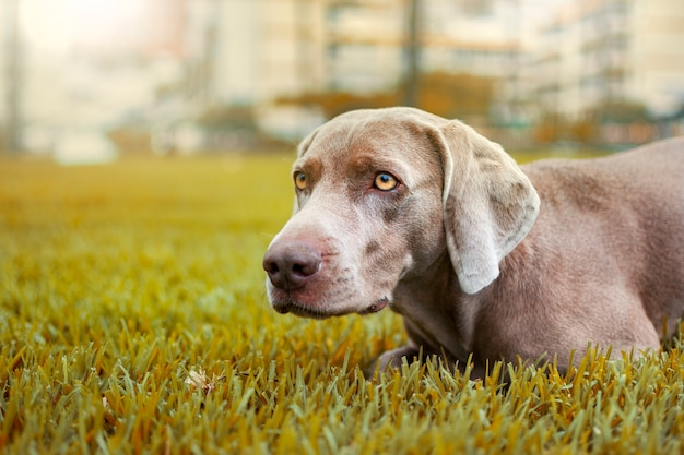 Retrato de um cão weimaraner em uma paisagem outonal com cores ocre. Foto Premium
