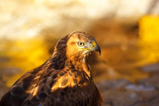 Retrato de um close-up belo pássaro falcão Foto Premium